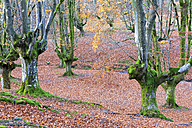 Spain, Basque Country, Gorbea Natural Park, Otzarreta forest in autumn - DSGF01389