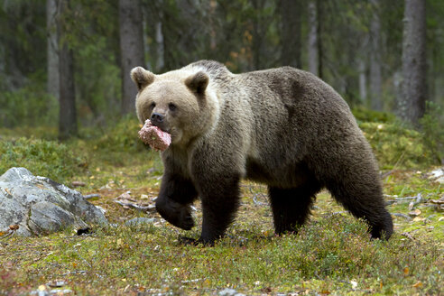 Finland, North Karelia, brown bear with prey in the woods - ZC00457