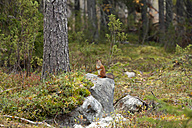 Finland, North Karelia, red squirrel on rock in the woods - ZC00460
