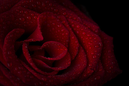 Blossom of red rose with water drops in front of black background, close-up - MJOF01329