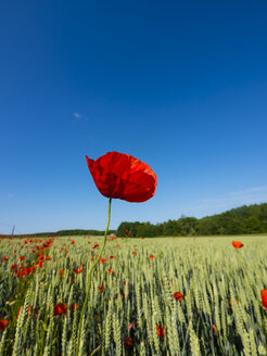 Poppy in field - AMF05195