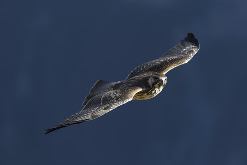 Peru, Andes, Chivay, Colca Canyon, Peregrine Falcon flying - FOF08483