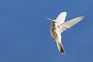 Peru, Andes, Chivay, Colca Canyon, giant hummingbird flapping its wings - FOF08486