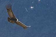 Peru, Andes, Chivay, Colca Canyon, Andean condor flying - FOF08489