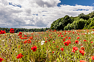 Germany, Thuringia, Bad Langensalza, Hainich National Park, corn poppy field - EGBF00160