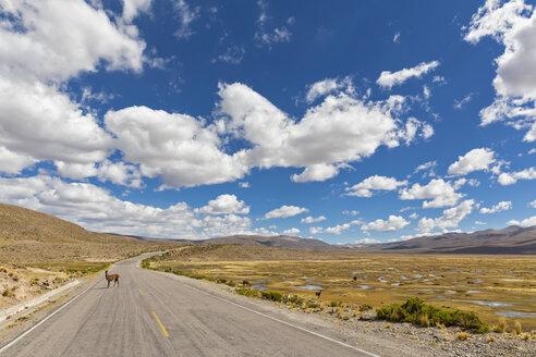 Peru, La Reserva Nacional Salinas y Aguada Blanca, llama on the road - FOF08638