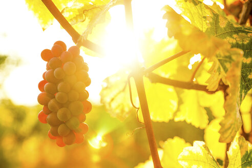Grapes on vine at backlight - PUF00577