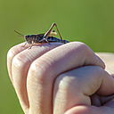 Grasshopper on fingers - MHF00400