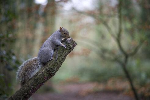 Grey squirrel - MJOF01339