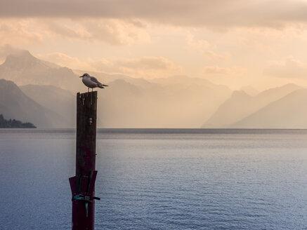 Austria, Salzkammergut, Gmunden, Traunsee, seagull perching on wooden stake - EJWF00830