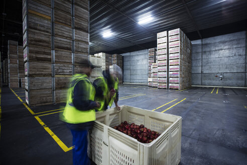 Two workers inspecting apples in distribution warehouse - ZEF12457