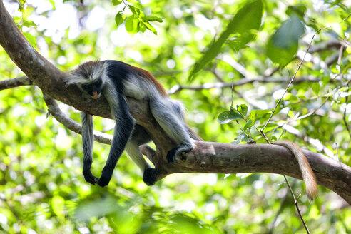 Tanzania, Zanzibar Island, Unguja, Zanzibar red colobus sleeping on branch - DSGF01428