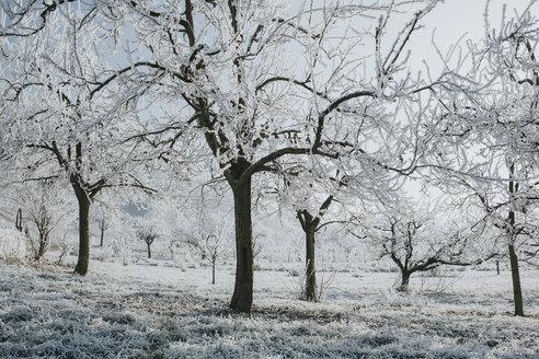 Trees in winter - DWF00252