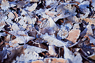 Frost-covered autumn leaves, close-up - CZF00279