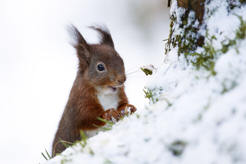 Portrait of eating Eurasian red squirrel in snow - MJOF01344