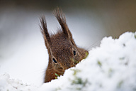 Eurasian red squirrel in snow - MJOF01347