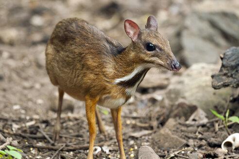 Thailand, Petchaburi Province, portrait of Java mouse deer - ZCF00470