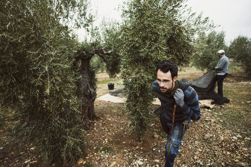 Spain, man pulling net in olive grove - JASF01483