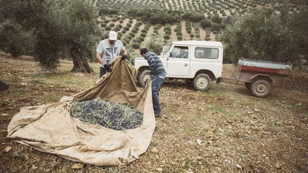 Spain, two men at work in olive grove - JASF01489
