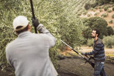 Spain, man using vibrator for olive harvest - JASF01501