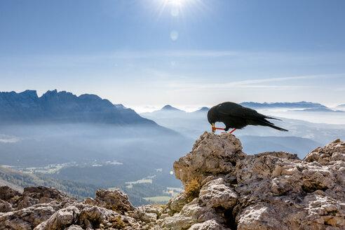Italy, South Tyrol, Rosengarten, Schwarzhorn, Weisshorn and Alpine chough - EGBF00224