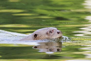 Peru, Manu National Park, Cocha Salvador, Giant otter - FOF08782