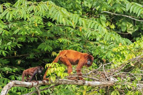 Peru, Manu National Park, Venezuelan red howler with young animal - FOF08785