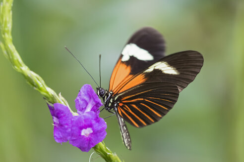 Peru, Manu National Park, tropical butterfly at blossom - FOF08788