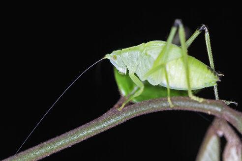 Peru, Manu National Park, Oblong-Winged katydid on twig - FOF08793