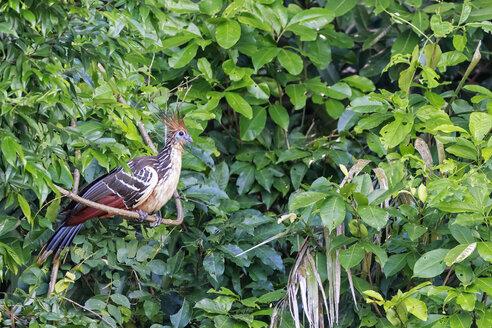 Peru, Manu National Park, Hoatzin crouching branch - FOF08803