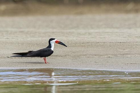 Peru, Manu National Park, Black skimmer standing at waterside of Manu River - FOF08809