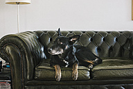 Portrait of dog lying on leather couch - JUBF00200