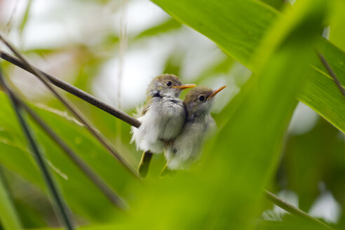 Thailand, Kaeng Krachan, two young Common Tailorbirds on twig - ZC00498