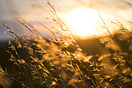 Tall grass at sunset - KKAF00438