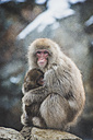 Japan, Yamanouchi, Jigokudani Monkey Park, red-faced makak with young animal - KEBF00499
