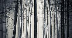 Tree trunks in winter - SKAF00051