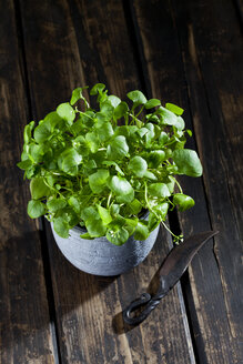 Indian lettuce in a pot and an old knife on dark wood - CSF27872
