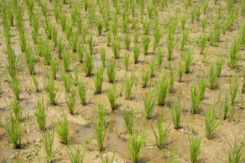 Madagascar, Bevato, rice field - FLKF00734