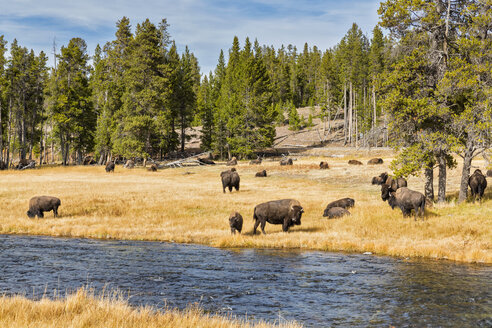 USA, Wyoming, Yellowstone National Park, herd of American Bisons at Firehole River - FOF08928