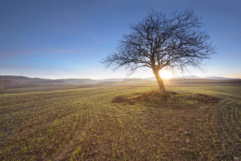 Spain, single bare tree in rural landscape at sunset - DHCF00065