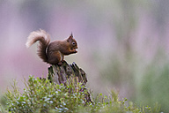 Red squirrel on dead wood - MJOF01352