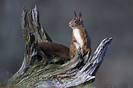 Red squirrel on dead wood - MJOF01358