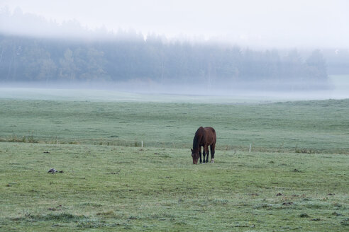 Germany, Bavaria, Jenhausen near Seeshaupt, morning fog, horse on paddock - SIEF07318