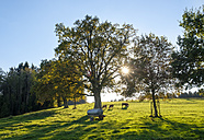 Germany, Eurasburg, cow pasture with oak trees at backlight - SIEF07326