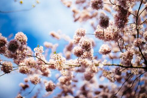 Cherry blossoms - DASF00069