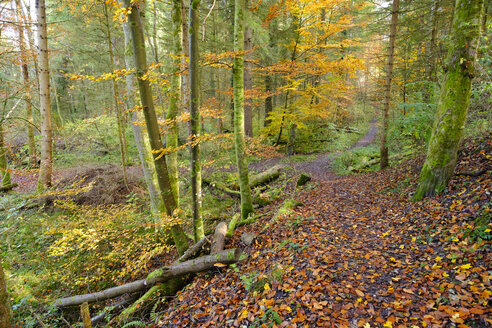 Germany, Bavaria, Geretsried, path in alluvial forest in autumn - SIEF07332