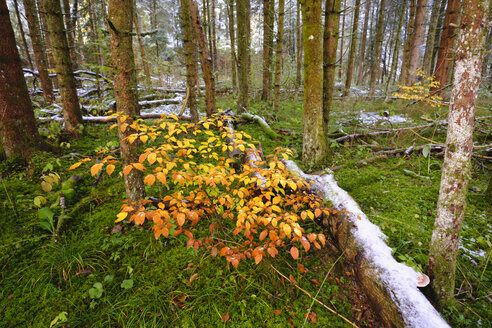 Germany, Bavaria, Geretsried, young beeches and spruces in alluvial forest - SIEF07335