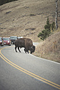 USA, Yellowstone National Park, Bison crossing road - EPF00382