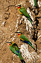 Botswana, Tuli Block, bee-eaters - SRF00871