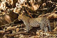 Botswana, Tuli Block, leopard - SRF00874
